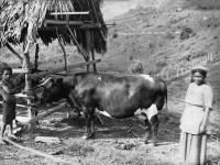 249-vache